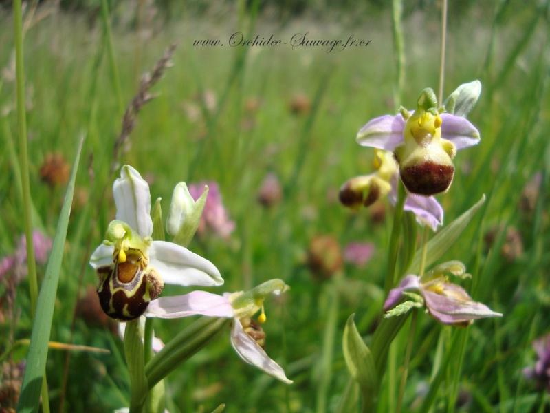 Ophrys apifera var bicolor - Ophrys Vanille-Chocolat :) Dsc02211