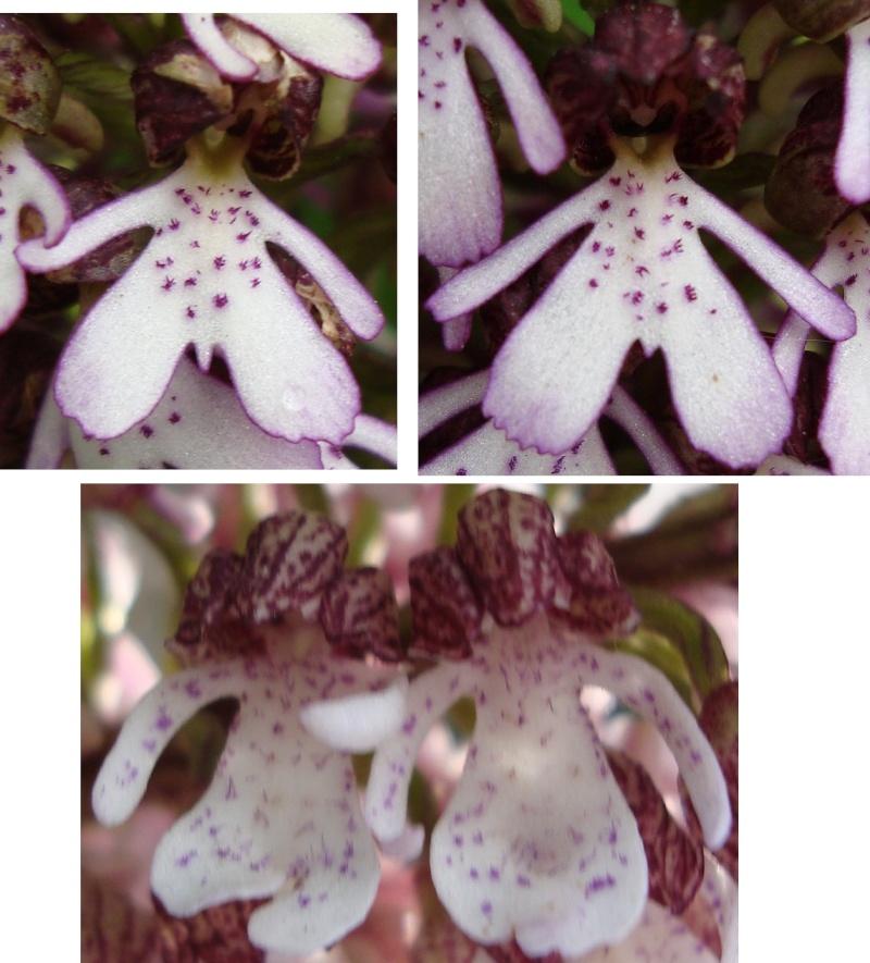 Labelles d'orchis purpurea Floril10