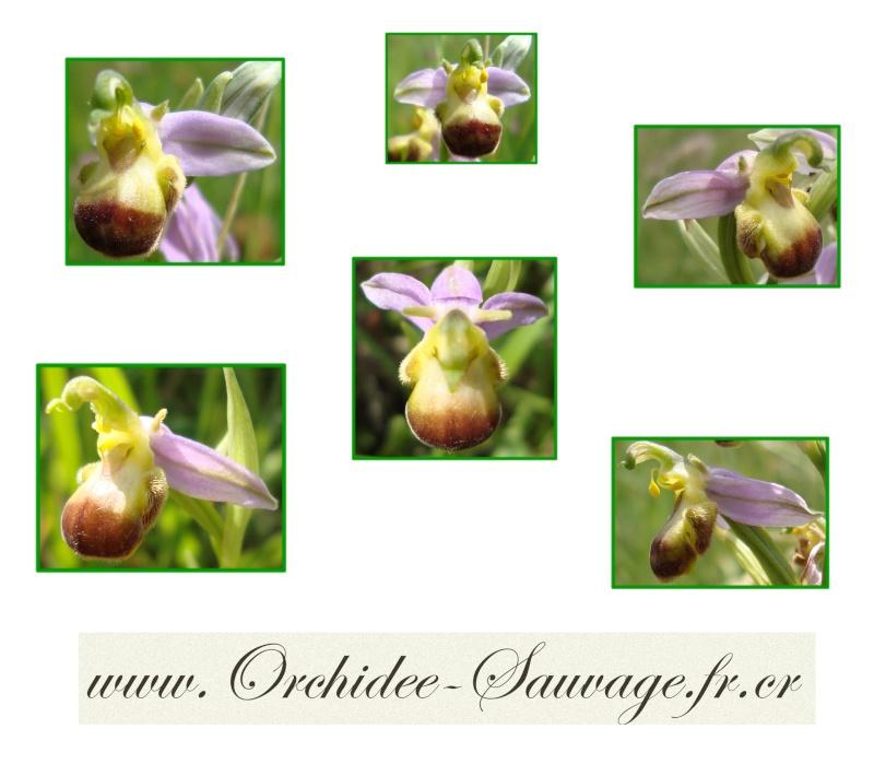 Ophrys apifera var bicolor - Ophrys Vanille-Chocolat :) Ophrys10