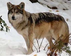 `Wolf Existence //PsychePack vs TartarusPack\\ Sunsta10