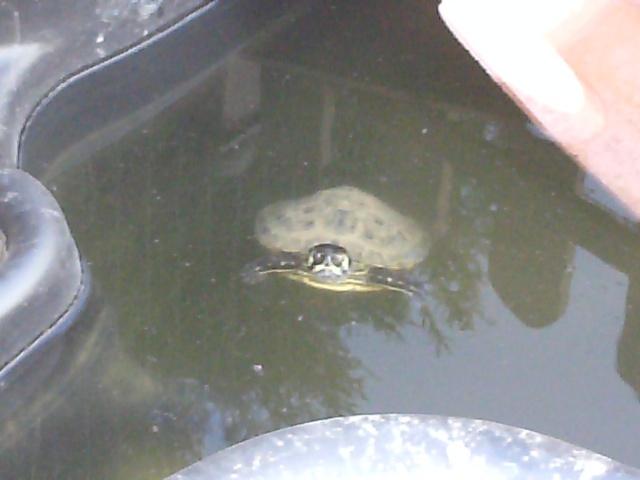 notre bassin pour tortues... - Page 2 Pict0917