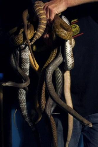 Les serpents les plus dangereux du monde 110