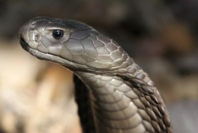 Les serpents les plus dangereux du monde 1210