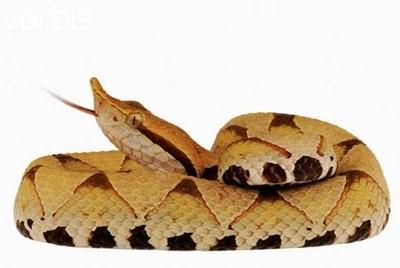 Les serpents les plus dangereux du monde 1610