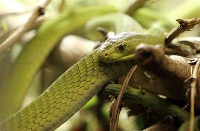 Les serpents les plus dangereux du monde 1710
