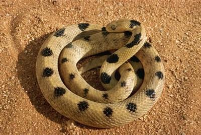 Les serpents les plus dangereux du monde 1810