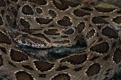 Les serpents les plus dangereux du monde 1910
