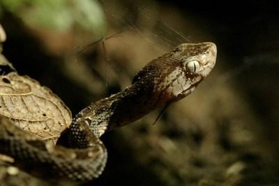 Les serpents les plus dangereux du monde 2110