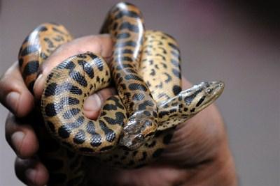 Les serpents les plus dangereux du monde 710