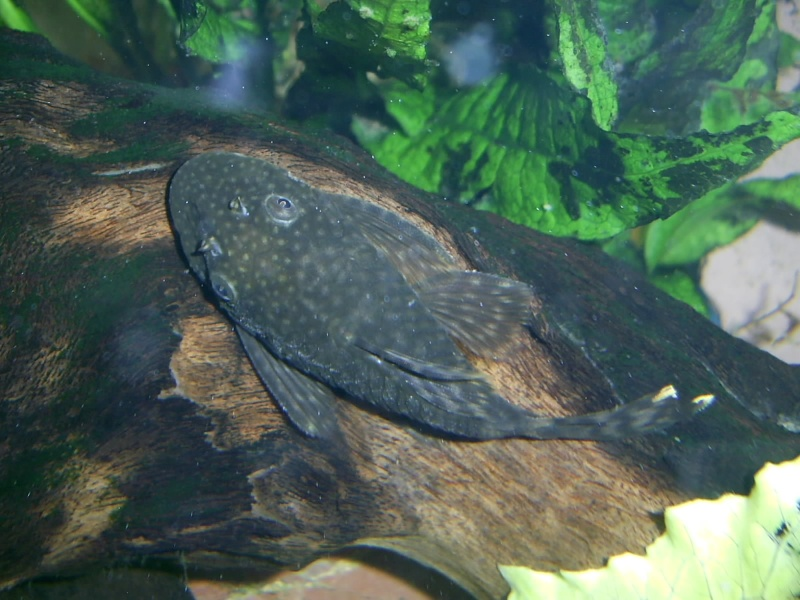 A few Bristlenose pictures Pic_0722