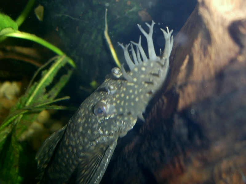 A few Bristlenose pictures Pic_0723
