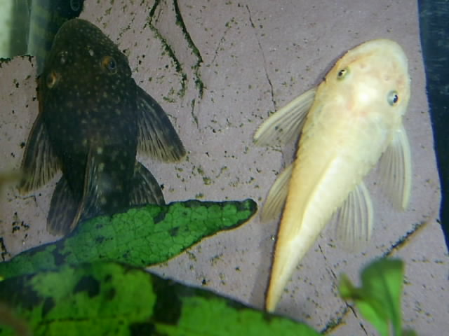 A few Bristlenose pictures Pic_0810