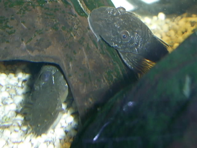 A few Bristlenose pictures Pic_0811
