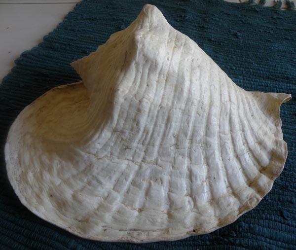 Strombidae Titanostrombus goliath - (Schröter, 1805) P6260615