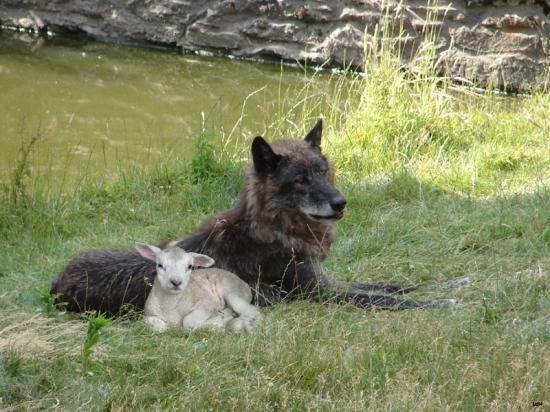 La louve et la brebis Autres10
