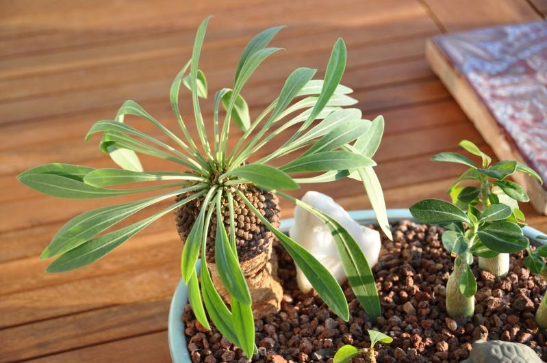 Euphorbia stellata, Euphorbia bupleurifolia, Euphorbia spectabilis 00220