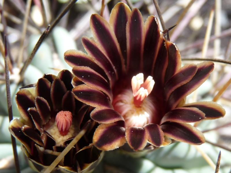 Sclerocactus uncinatus 00321