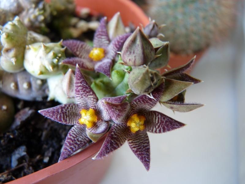 Asclepiadaceae 00615