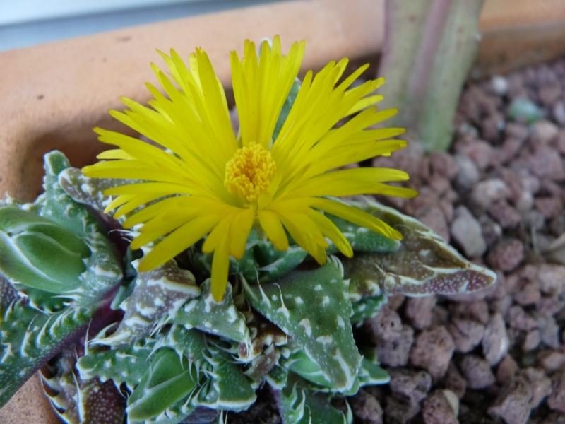 Lithops et Faucaria, floraisons 01712