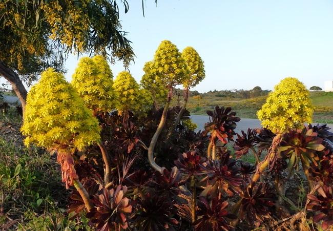 Aeonium arboreum 'Atropurpureum' Gbpix_14