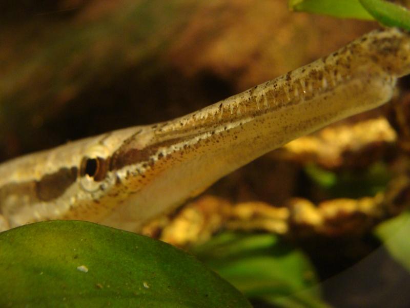 mon lepisosteus osseus [GAR FISH] Dsc01113