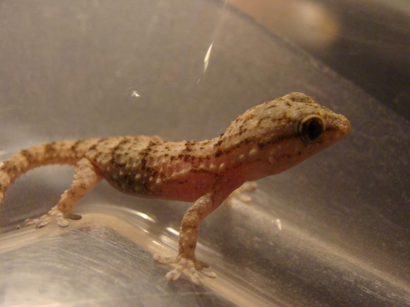mes petits rahco et mes ptits gecko Dsc04510