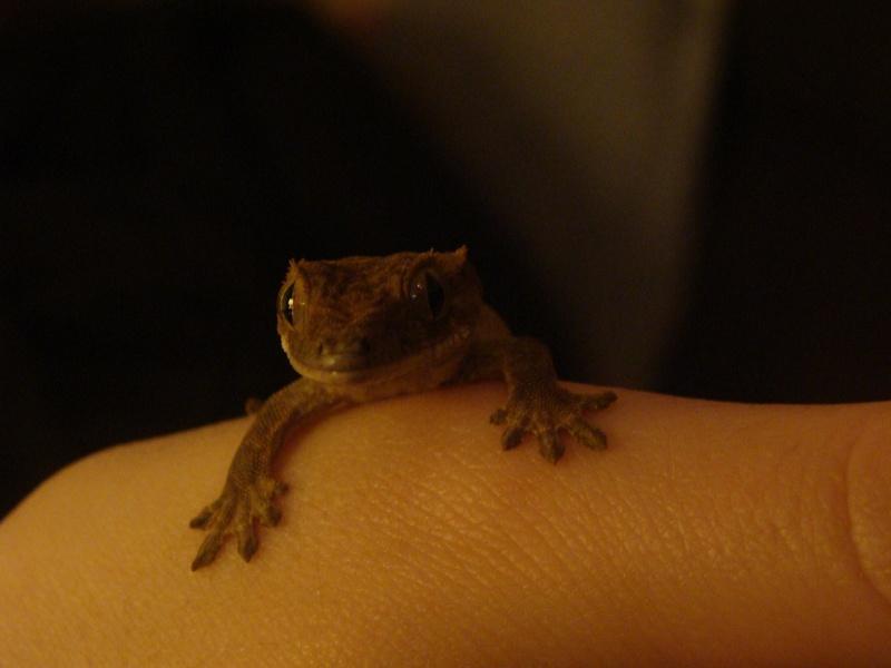 mes petits rahco et mes ptits gecko Dsc07510