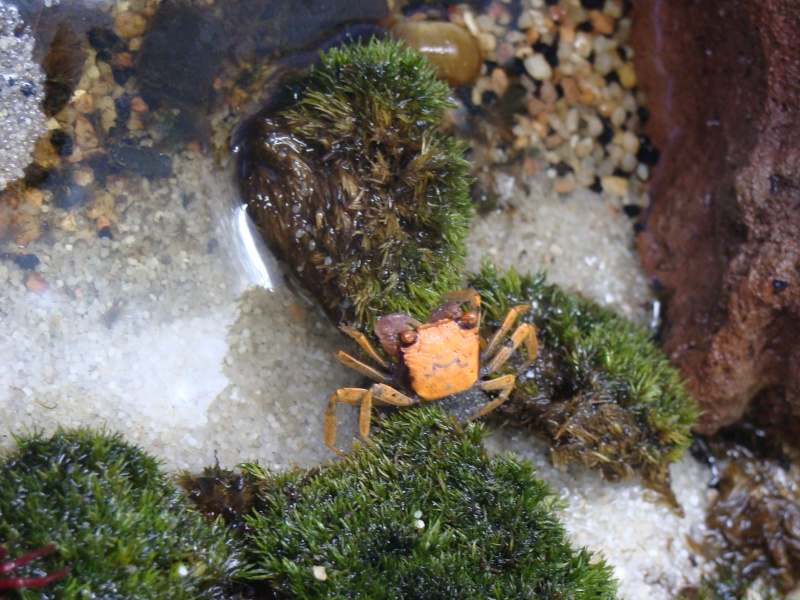 empoisonnements  sur des crabes geosesarma Dsc09110