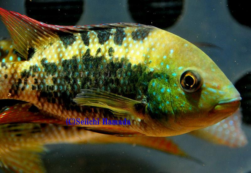 Quiz expert - pour les accros des poissons eau douce-saumâtre (600 points) - Page 16 Post-811