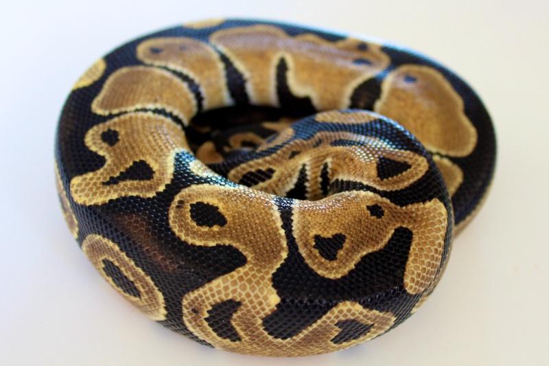Mon Python Régius Img_0310