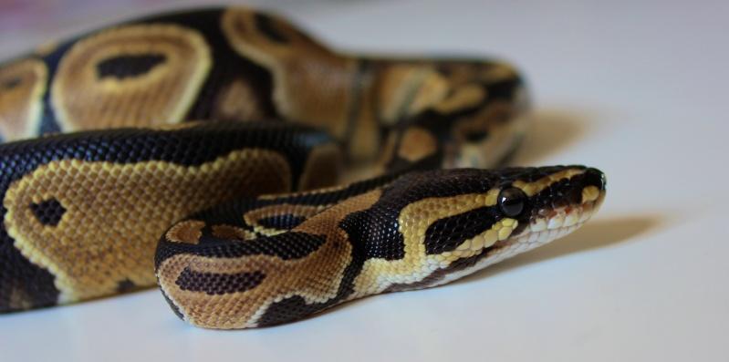 Mon Python Régius Img_0311