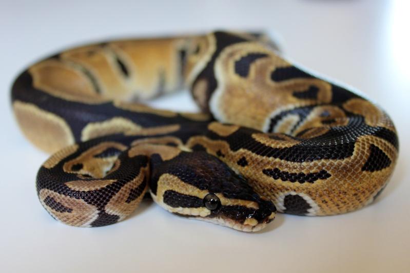 Mon Python Régius Img_0312