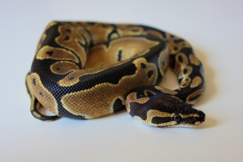 Mon Python Régius Img_0313