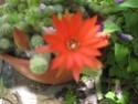 cactus dans mon jardin palmier Cactus12
