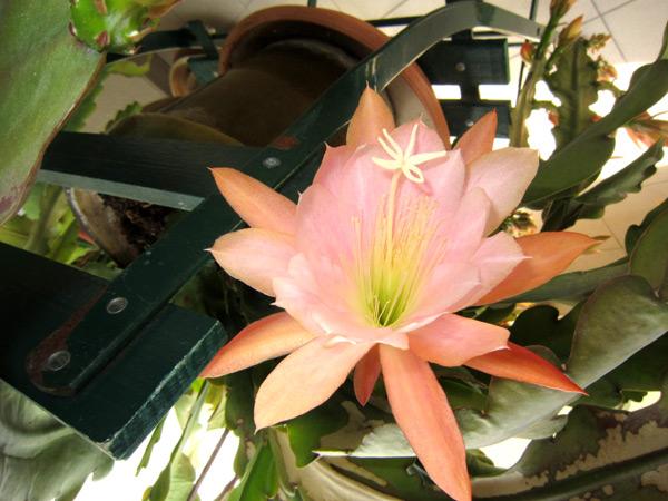 Epiphyllum !!! 4-img_12