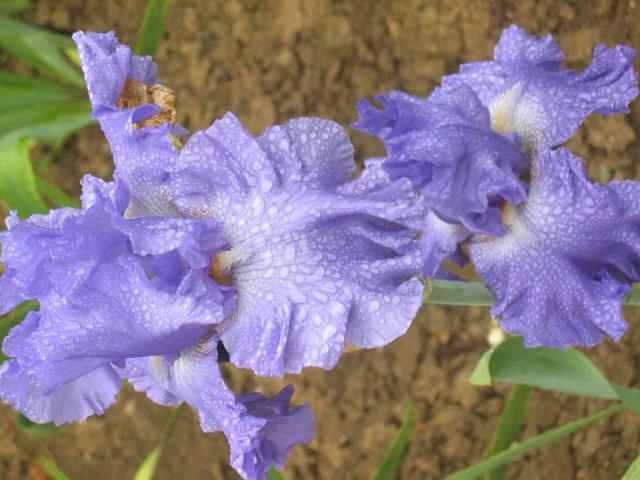 Iris.... Img_2110