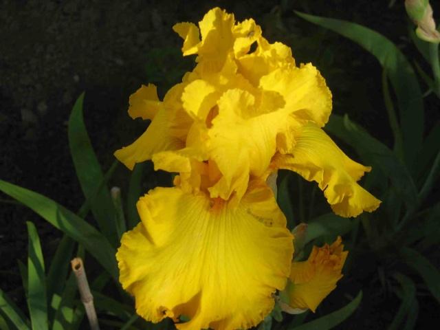 Iris.... Img_2113