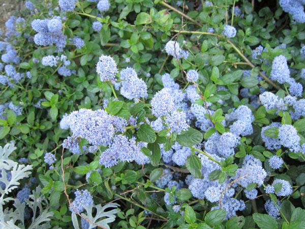 Superbe arbre bleu Img_2933