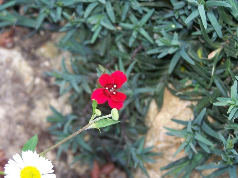 """Dianthus deltoïdes """"Albus"""" 100_1222"""