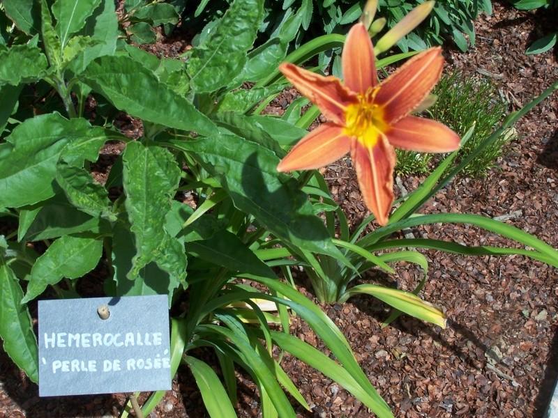 Hemerocalle,Hemerocallis 100_1344