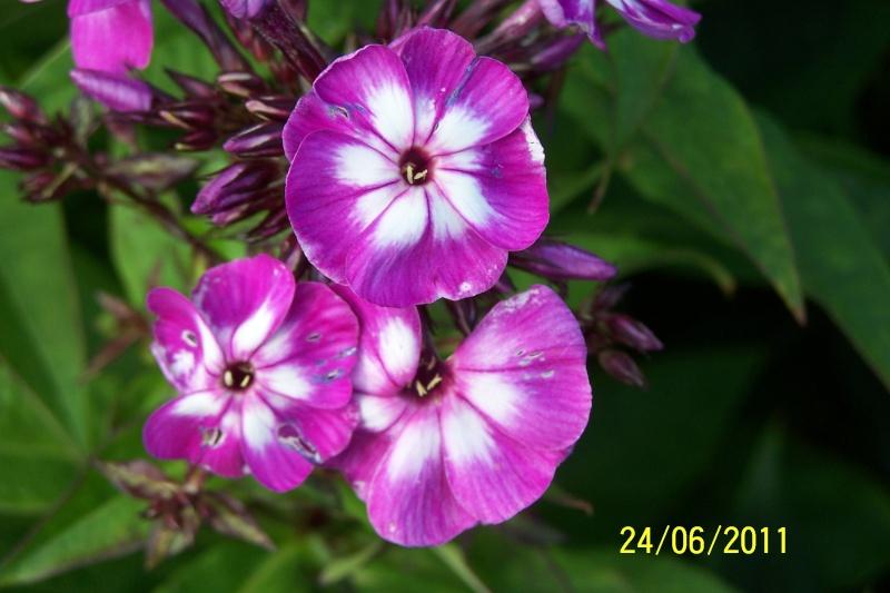 Phlox vivace, Phlox paniculata - Page 3 100_1611