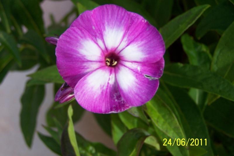 Phlox vivace, Phlox paniculata - Page 3 100_1612