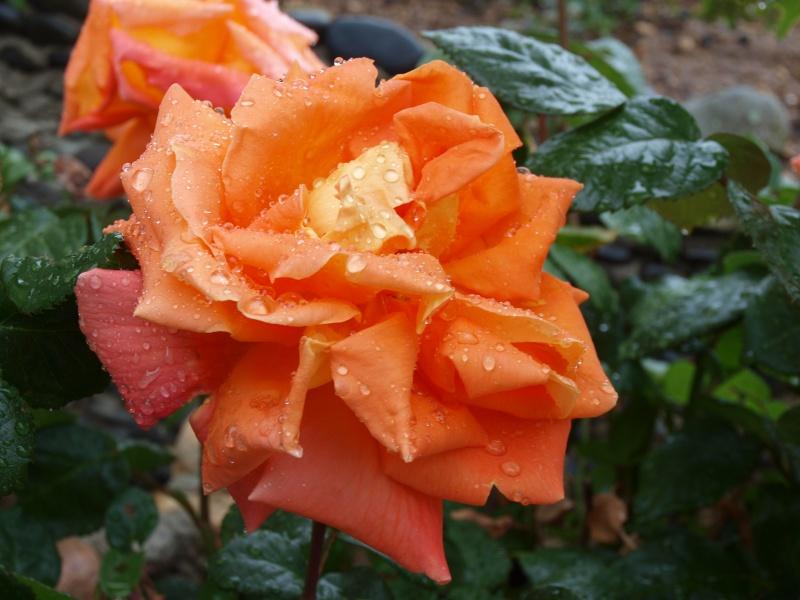 rose fraîche P5146710