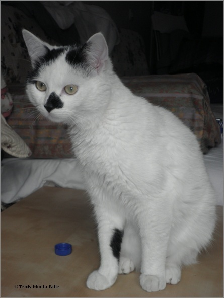 "FIGOLU rebaptisé ""PEPITO"" mâle blanc et noir de 1 an Image110"