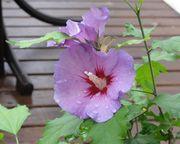 Cvetna oaza - Page 3 Hibisk10