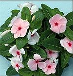 Cvetna oaza - Page 3 Vinka10
