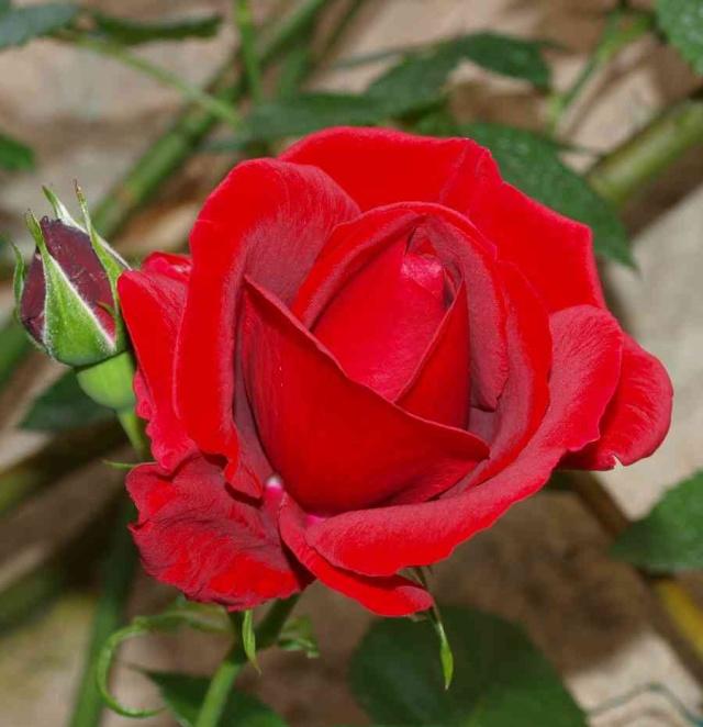 13 - Photos reçues/concours les roses ... mai 2011 - Page 3 P5196510