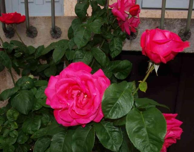 13 - Photos reçues/concours les roses ... mai 2011 - Page 3 P5196611