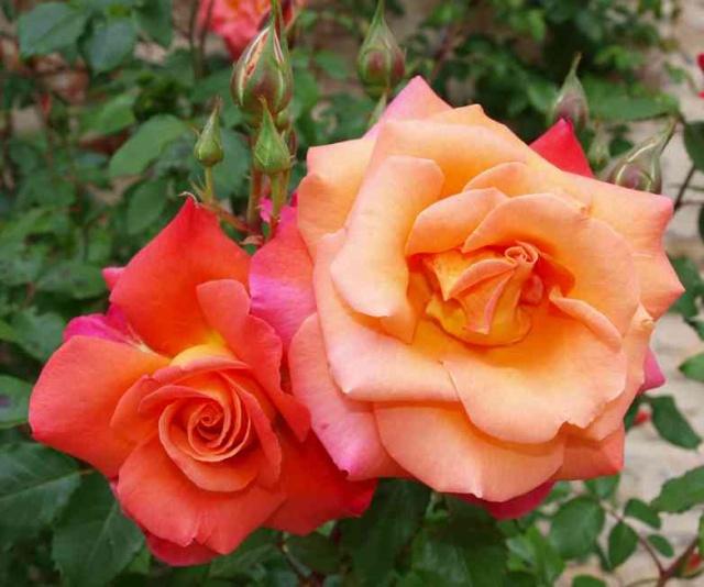 13 - Concours les roses ... mai 2011 - Page 3 P5196612