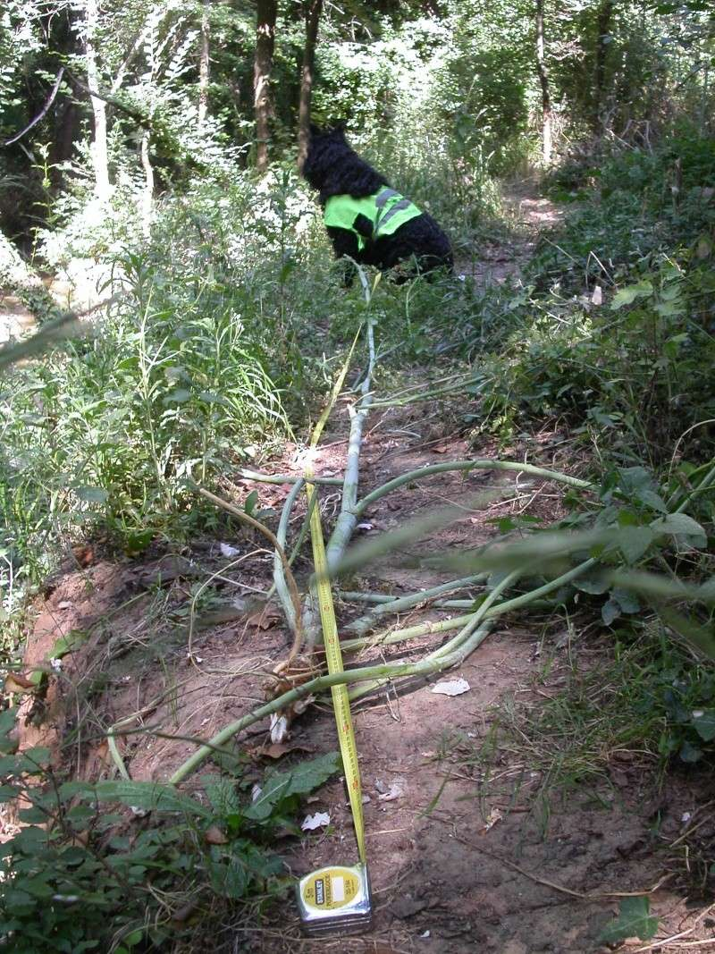 Grande cigüe, cigüe tachetée / Conium maculatum 38310